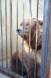 Grizzly bear at the zoo Stock Photography
