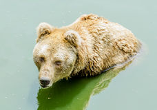 Grizzly bear in zoo Stock Images