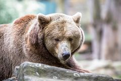 The Grizzly bear in a Zoo of Berlin, Germany. Sad Grizzly bear close up in a Zoo of Berlin, Germany royalty free stock images