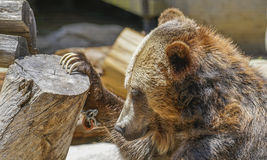 Grizzly Bear, Zoo Series, nature, animal. Grizzly bear playing with a bone on a log Royalty Free Stock Image