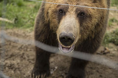 Grizzly bear in a zoo. Grizzly bear up-close in a zoo Stock Image