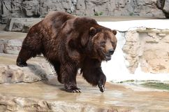 Grizzly bear5 Stock Photo