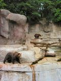 Grizzly Bears. This photo was taken at John Ball Park Zoo located in Grand Rapids, Michigan royalty free stock images