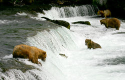Grizzly bears Royalty Free Stock Image