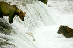 Grizzly bears Royalty Free Stock Photography