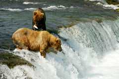 Grizzly bears Royalty Free Stock Photos