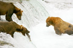 Grizzly bears Stock Photos