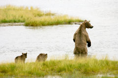 Grizzly bears Stock Images