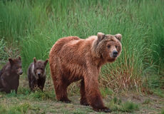 Grizzly bears. Grizzly bear with her cubs in SW Alaska Stock Images