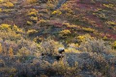 Grizzly bears, Alaska. Denali National Park Royalty Free Stock Photos