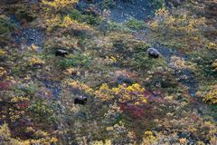 Grizzly bears, Alaska. Denali National Park Royalty Free Stock Photography