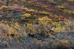 Grizzly bears, Alaska. Denali National Park Stock Image
