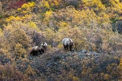 Grizzly bears, Alaska. Denali National Park Stock Photo