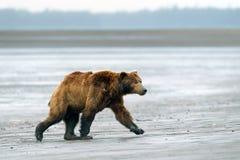 Grizzly. Bears in Alaska. Salmon Lake area Stock Photos