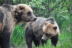 Grizzly bears, Alaska. Grizzly bears in Alaska (USA Royalty Free Stock Photo