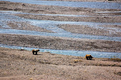 Grizzly bears along the stream at Denali National Park Royalty Free Stock Photos