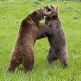 Grizzly Bears arctos ursus. Two ferocious alaskan brown bears attempting dominance by growling, standing, snarling and exhibiting teeth, while clawing at their Stock Images