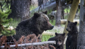 Grizzly Bears Royalty Free Stock Images