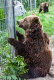 Grizzly Bears in Captivity Royalty Free Stock Image