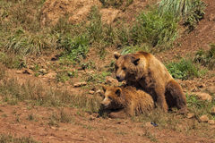 Grizzly bears copulating. Grizzly bears copulating in season of zeal Stock Photo