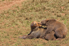 Grizzly bears copulating. Grizzly bears copulating in the time of zeal Royalty Free Stock Images