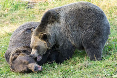 Grizzly bears fight Stock Images