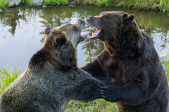 Grizzly bears fight stock photography