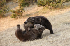 Grizzly Bears Fighting Royalty Free Stock Image