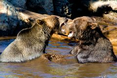 Grizzly Bears fighting Stock Images