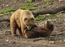 Grizzly bears fighting Stock Photo