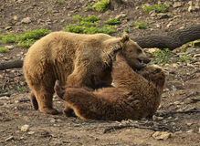 Grizzly bears fighting Royalty Free Stock Photos