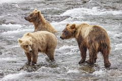 Grizzly bears fishing for salmon royalty free stock photo
