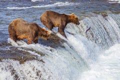 Grizzly bears of Katmai NP. Grizzly bears fishing for salmon at Brooks Falls, Katmai NP, Alaska stock photography