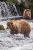 Grizzly bears of Katmai NP. Grizzly bears fishing for salmon at Brooks Falls, Katmai NP, Alaska Stock Image