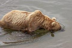 Grizzly bears of Katmai NP. Grizzly bears fishing for salmon at Brooks Falls, Katmai NP, Alaska Stock Photos