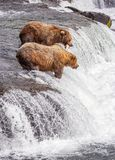 Grizzly bears of Katmai NP stock images