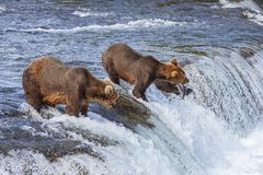 Grizzly bears of Katmai NP stock photography