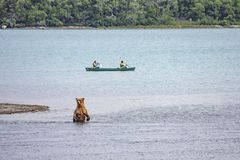 Grizzly bears of Katmai NP stock image
