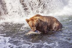 Grizzly bears of Katmai NP royalty free stock photography