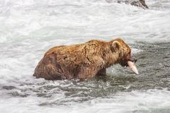 Grizzly bears of Katmai NP royalty free stock photos