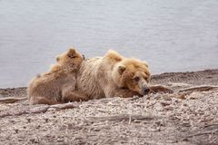 Grizzly bears of Katmai NP royalty free stock photo
