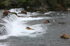Grizzly bears, Brooks Falls. Royalty Free Stock Image