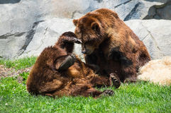 Grizzly bears fooling around. Pair of grizzly bears playing. Shot at Brookfield Zoo, Brookfield, IL Royalty Free Stock Photo