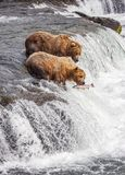 Grizzly bears of Katmai NP. Grizzly bears fishing for salmon at Brooks Falls, Katmai NP, Alaska royalty free stock photos