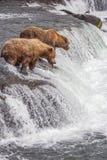 Grizzly bears of Katmai NP. Grizzly bears fishing for salmon at Brooks Falls, Katmai NP, Alaska Royalty Free Stock Image