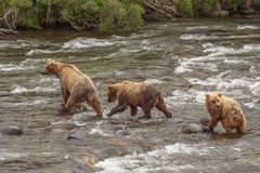 Grizzly bears of Katmai NP. Grizzly bears fishing for salmon at Brooks Falls, Katmai NP, Alaska Royalty Free Stock Photography