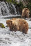 Grizzly bears of Katmai NP. Grizzly bears fishing for salmon at Brooks Falls, Katmai NP, Alaska Stock Photo