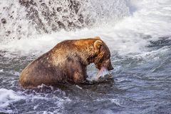 Grizzly bears of Katmai NP royalty free stock image