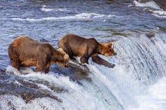 Grizzly bears of Katmai NP. Grizzly bears fishing for salmon at Brooks Falls, Katmai NP, Alaska Royalty Free Stock Photo
