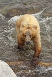 Grizzly bears of Katmai NP. Grizzly bears fishing for salmon at Brooks Falls, Katmai NP, Alaska stock images